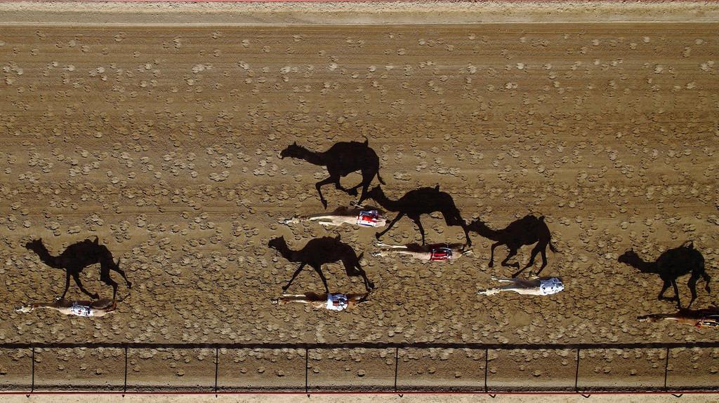 Ուղտերի մրցավազքը, Դուբայ, ԱՄԷ, լուսանկարը՝ SHOYAB/DRONESTAGRAM