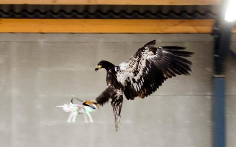 Նիդեռլանդների ոստիկանությունը վարժեցնում է արծիվներին՝ հակառակորդի դրոնները որսալու համար