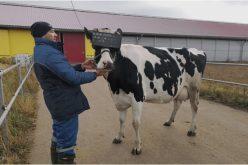Ֆերմայում փորձարկվել են կովերի համար նախատեսված վիրտուալ իրականության(VR) առաջին ակնոցները