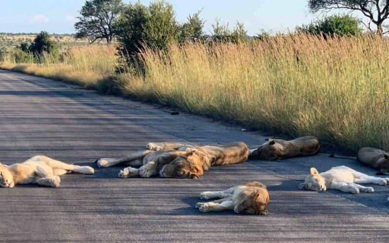 Մինչ  մարդիկ նստած են կարանտինում, ճանապարհները զբաղեցնում են առյուծները