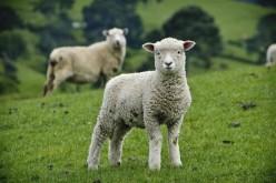 Բրիտանացի ոչխարները կսկսեն Wi-Fi տարածել